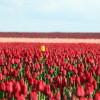 yellow_tulip