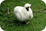 White Chicken - Rounded