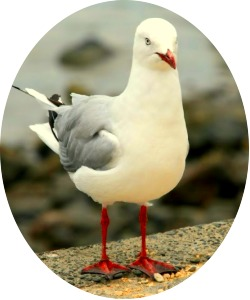 Seagull non-transparent JPEG