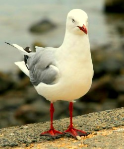 Seagull thumbnail JPEG