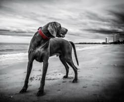 Dog on sand - original