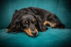 Lazy dog - original photo