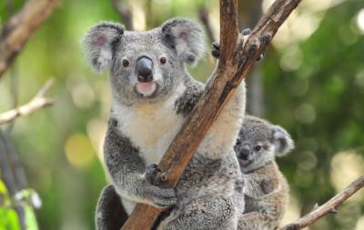 Original koala photo