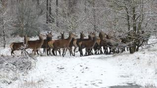 snow_deer