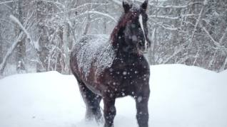 snow_horses