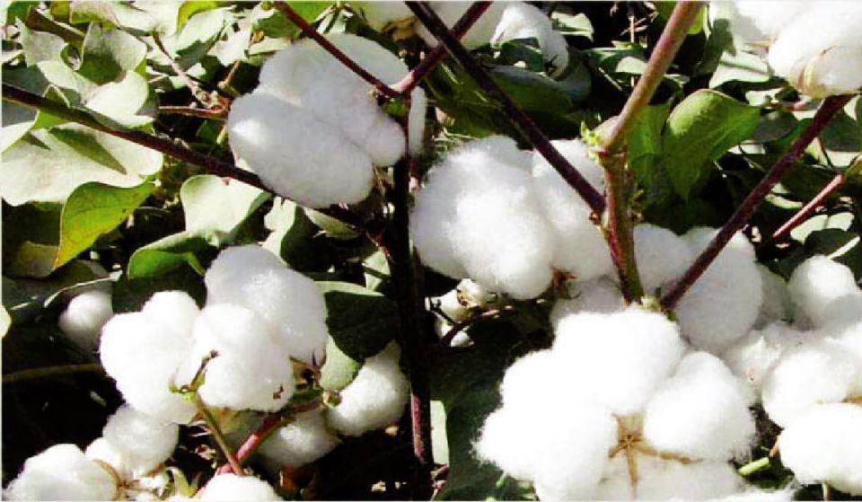 brazillian cotton