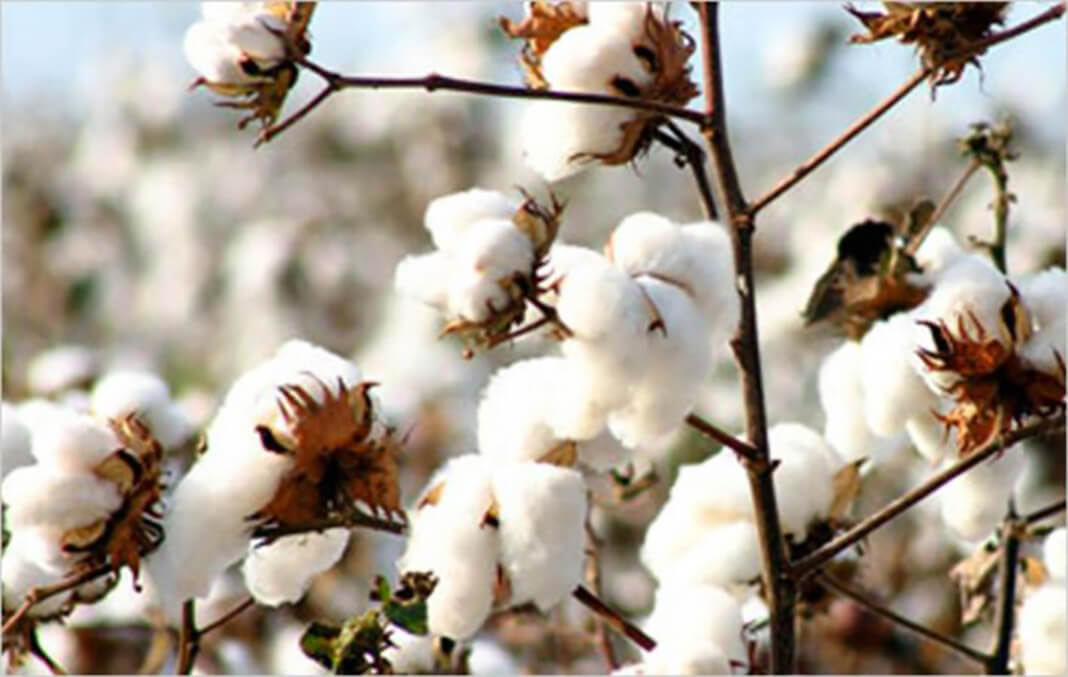 indian-cotton-sector-witnesses-all-round-growth-cai_216816