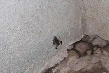 Tailess whip scorpion(non poisonous)