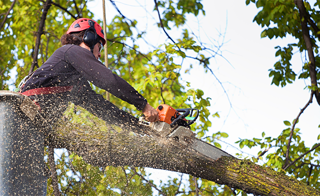 Metro Forestry Services employee trimming a large tree limb.