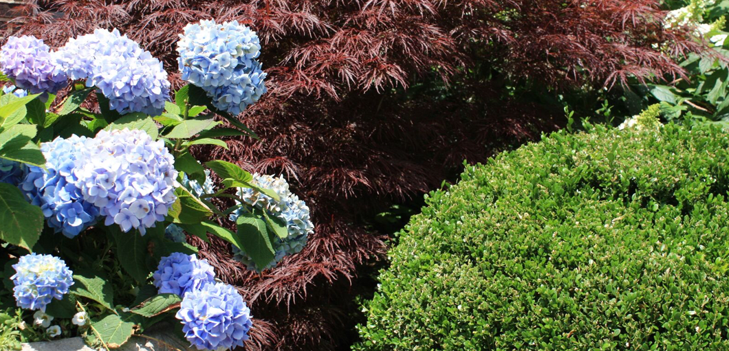 close up of blue hydrangeas and a japanese maple