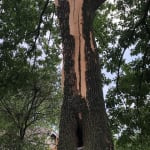 Lightning struck Ash tree in Ladue with bark blown off