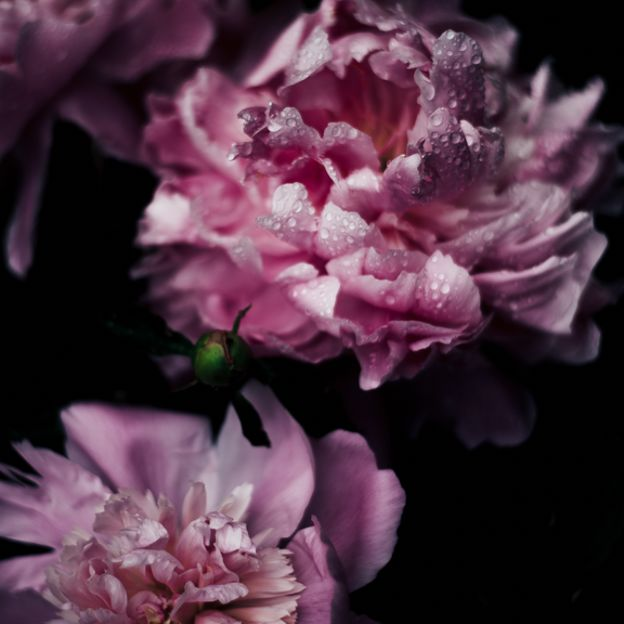 [Peony] by undefined