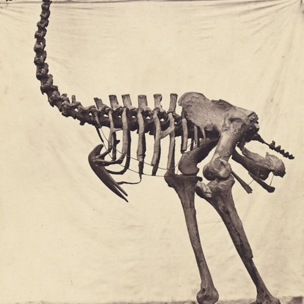 Dinornis Elephantopus by undefined