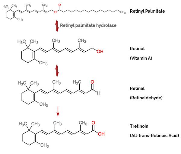 Retinyl Palmitate Metabolism Pathway