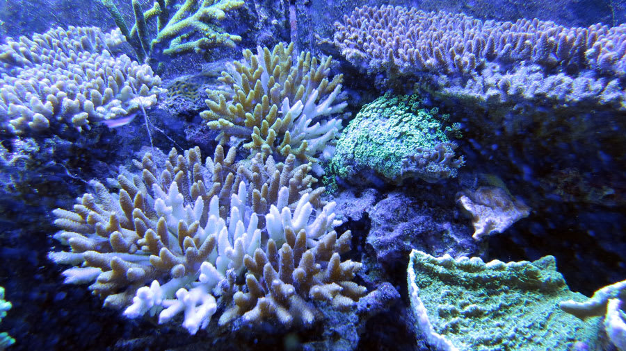 Blue coral reef with several different species of coral