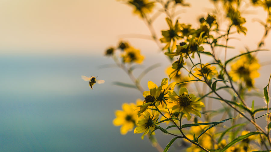 ​Buzzing bee flying by yellow flowers in the dim sunlight