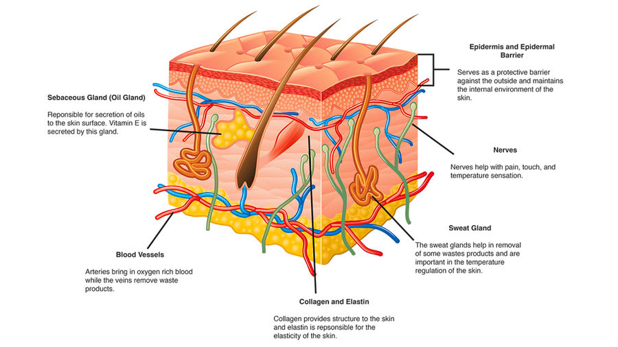Western overview of skin and western skin schematic