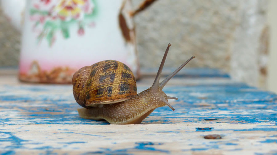 Snail on a colorful table producing snail slime