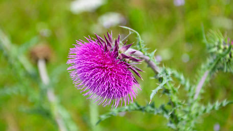 Purple bloom of milk thistle plant with green in the background
