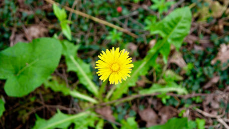 dandelion for herbal tea
