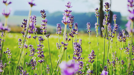 lavender in green field for herbal tea