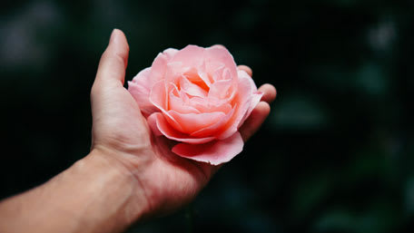 pink rose in hand for herbal tea