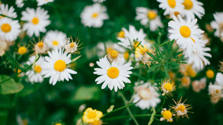 white chamomile flowers for herbal tea
