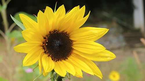 Close up of sunflower outside