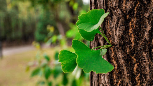 Gingko biloba leaves growing from side of tree bark