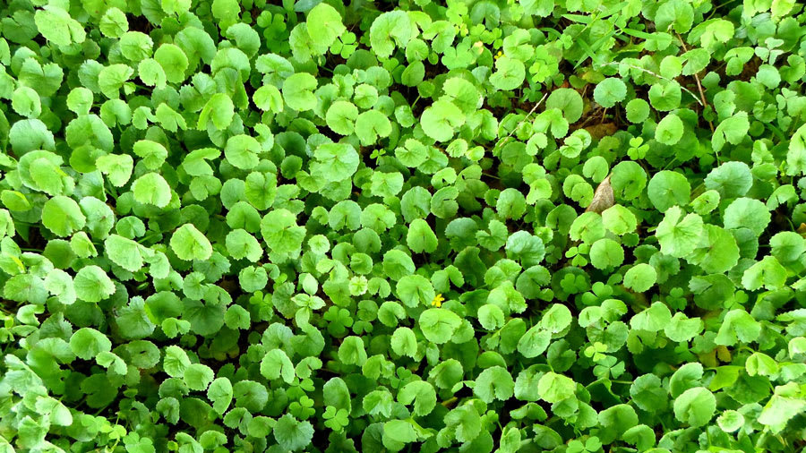 Field of green gotu kola plant