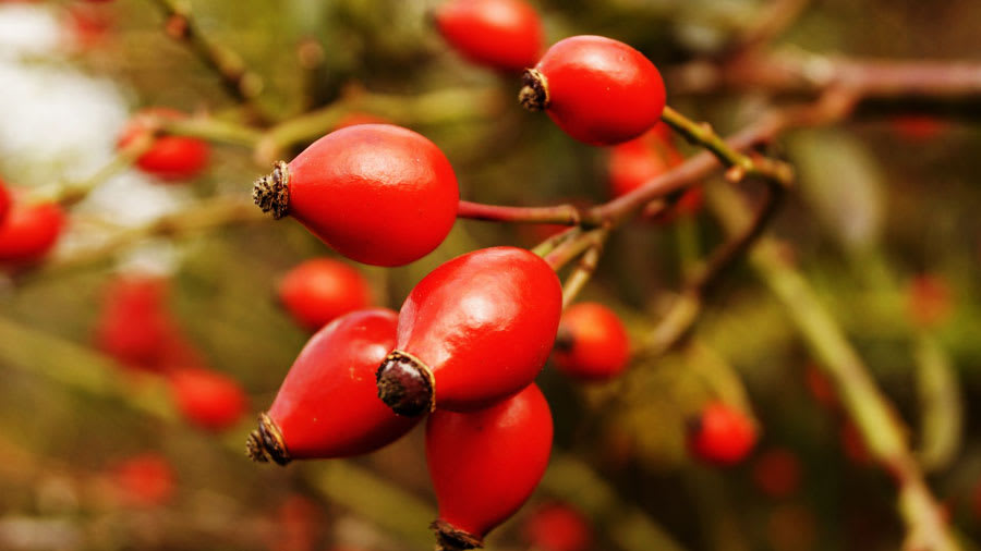 Red rose hip berry fruits for dry skin growing on a tree branch