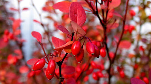 Barberry fruits on red shrub