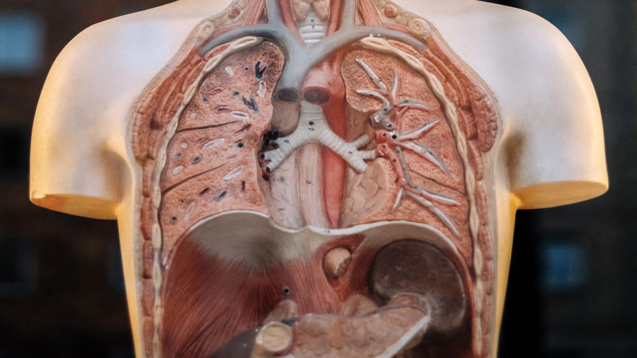 internal organs model for chinese medicine