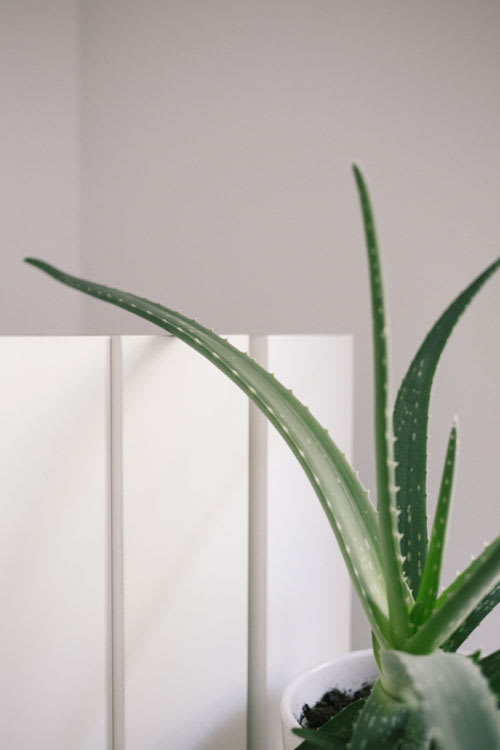 Aloe vera plant in front of wooden wall