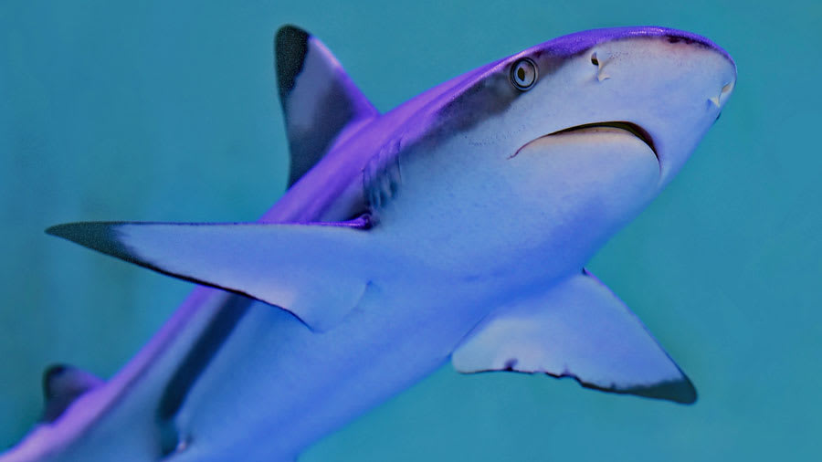 Swimming sharks with shark fin for skin ingredient squalene