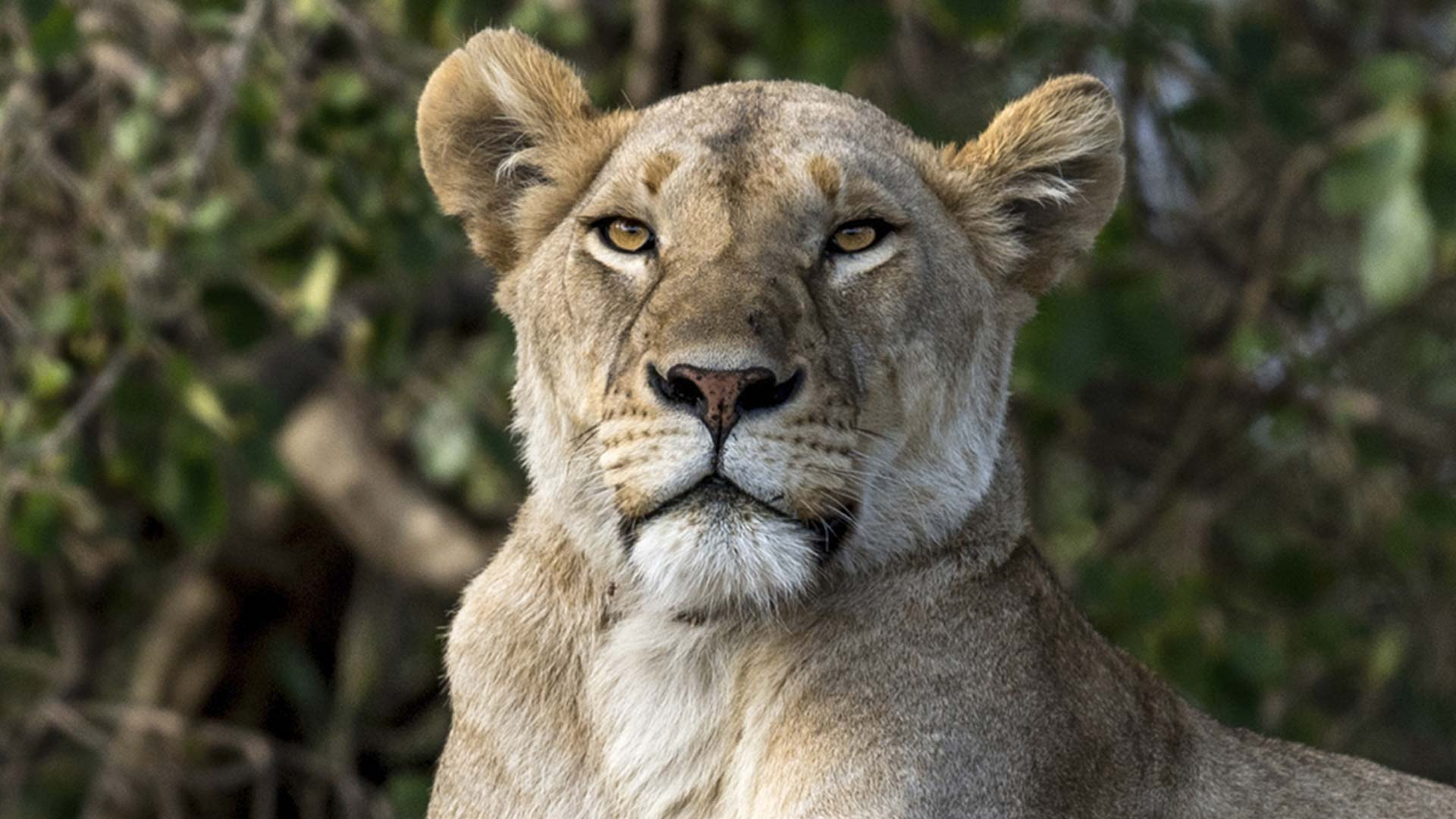 Majestic Lioness