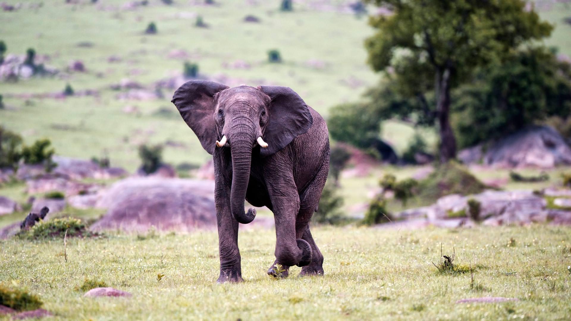 Alert Elephant