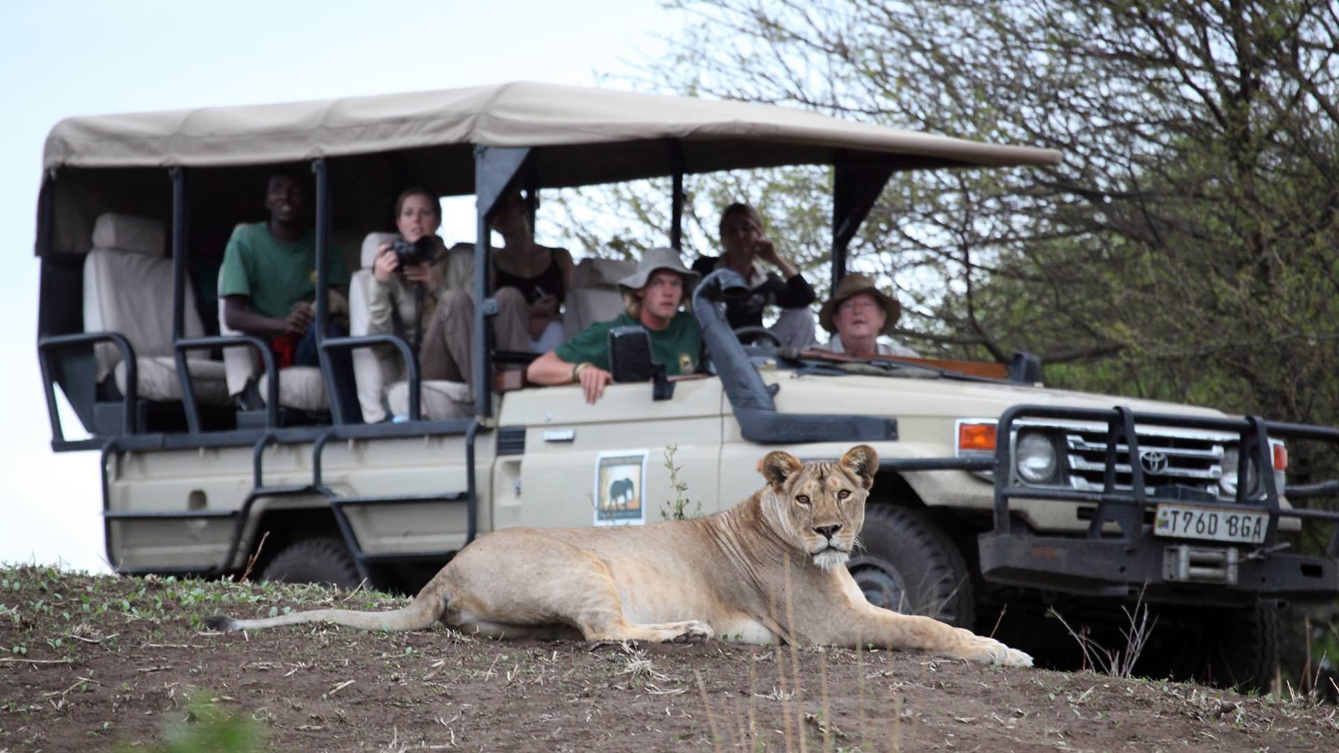 Lioness on game drive at Manyara Ranch Conservancy