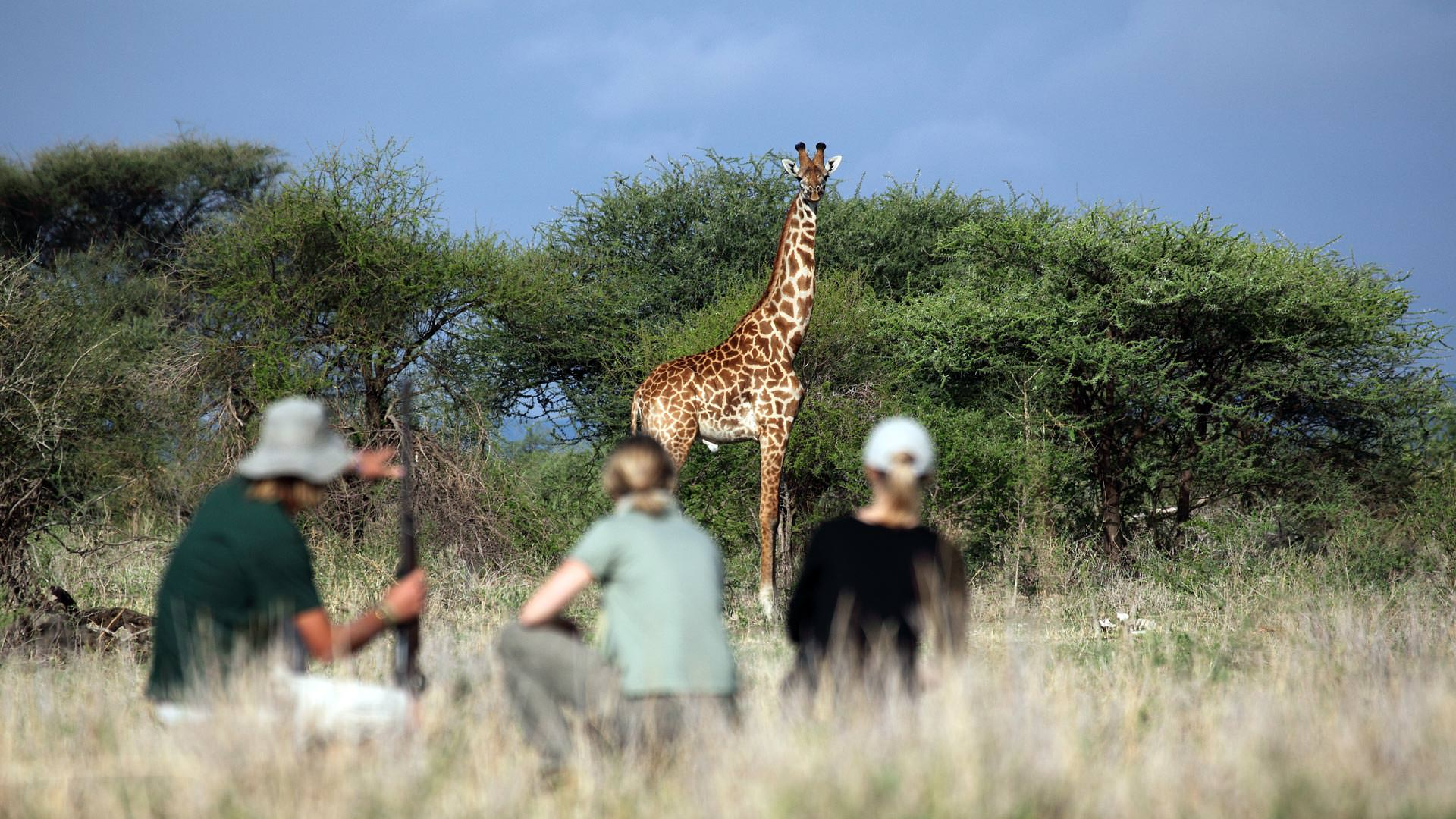 Approaching giraffe on foot at Manyara Ranch Conservancy