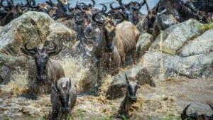 Wildebeest crossing the Mara River