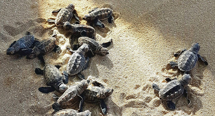 A group pf baby turtles together on the sand
