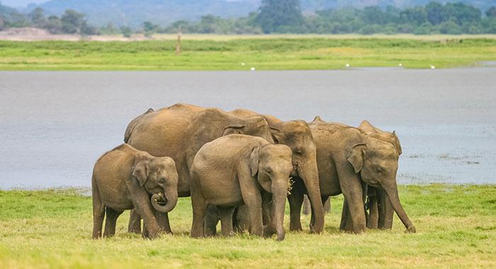 A group of Minneriya elephants