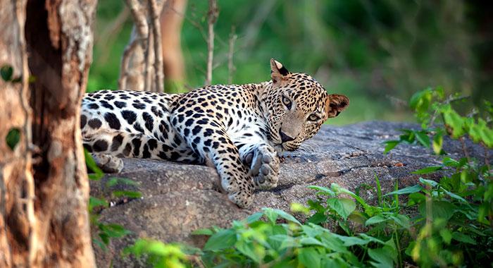 A leopard sat on a log in Yala National Park