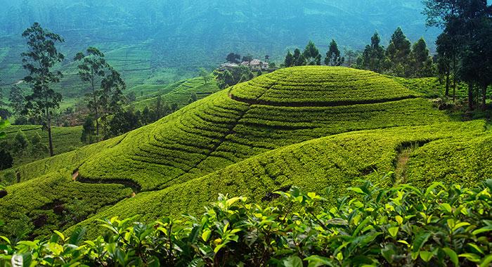 Tea plantation over hills