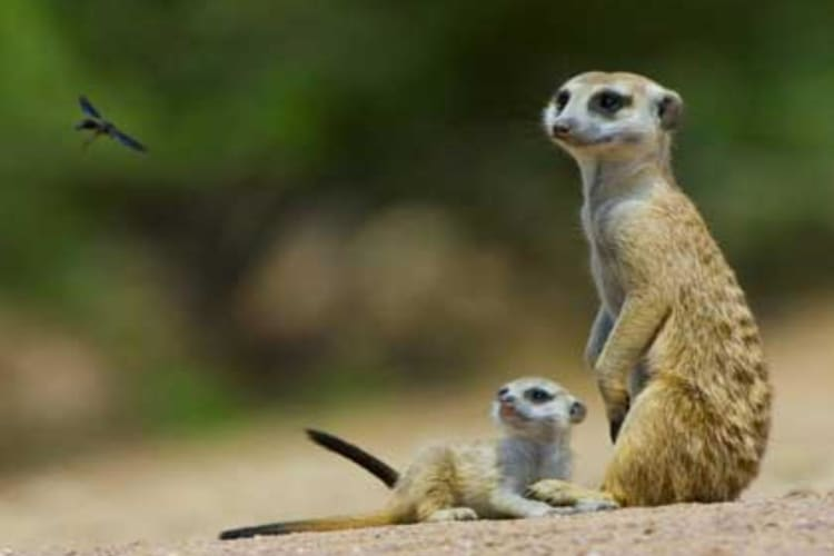 Meerkat with Young