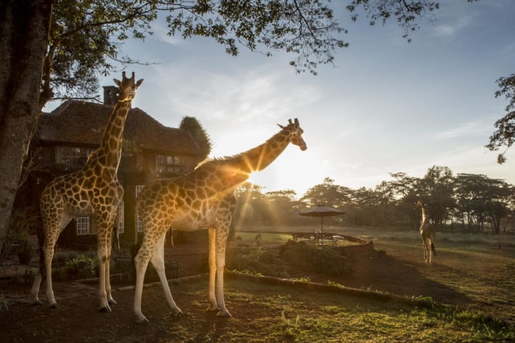 Sunrise at Giraffe Manor