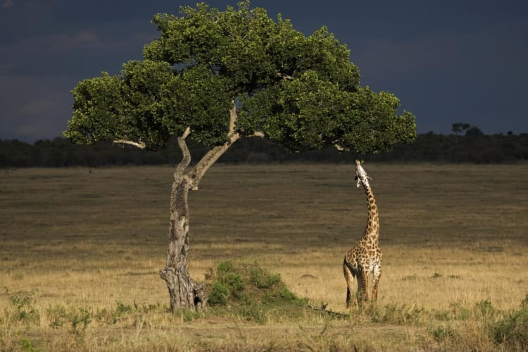 Giraffe feeding on tree Masai mar