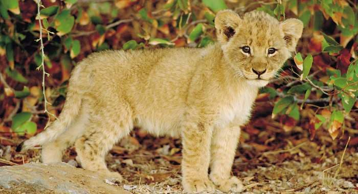 Lion Cub in South Africa