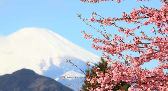 Sakura and Mount Fuiji