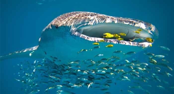 Ningaloo Reef whale shark
